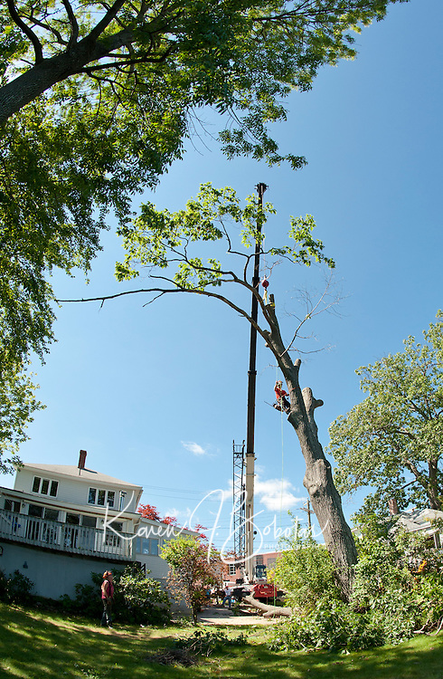 ZD Tree Service and Reliable Crane Service cut down a large oak tree on Opechee Street in Laconia August 26, 2011.  (Karen Bobotas/for the Laconia Daily Sun)
