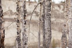 Birch forest near the Yukon River