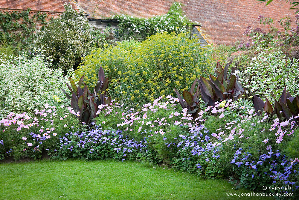 A border in the solar garden at Great Dixter in early September. Annuals bedded out amongst shrubs. Cosmos bipinnatus 'Sonata Pink' and Ageratum houstonianum 'Blue Horizon' in front of Bupleurum fruticosum and Cornus alba 'Elegantissima'