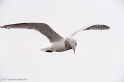 A glaucous-winged gull cruzes along the beach at Mukilteo Lighthouse.
