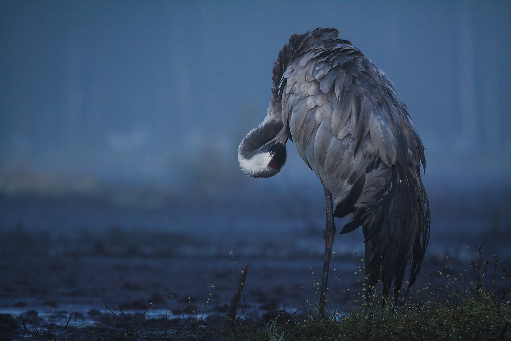 Common crane (Grus grus) in early morning taking care of its feathers, Kemeri National Park (Ķemeru Nacionālais parks), Latvia Ⓒ Davis Ulands | davisulands.com
