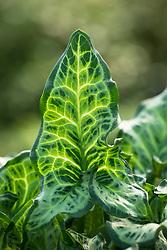 Arum italicum subsp. italicum 'Uniquity' - Italian lords-and-ladies