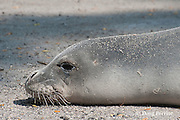 Hawaiian monk seal, Monachus schauinslandi, showing external opening to internal ear (light spot directly behind eye), Pu'uhonua o Honaunau ( City of Refuge ) National Historical Park, Kona, Hawaii ( Big Island ) Hawaiian Islands, U.S.A.