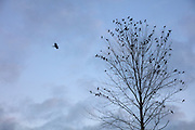 An American crow (Corvus brachyrhynchos) flies to join hundreds of other crows that are roosting in trees along North Creek in Bothell, Washington. An estimated 10,000 crows roost each night in a small area of the city.
