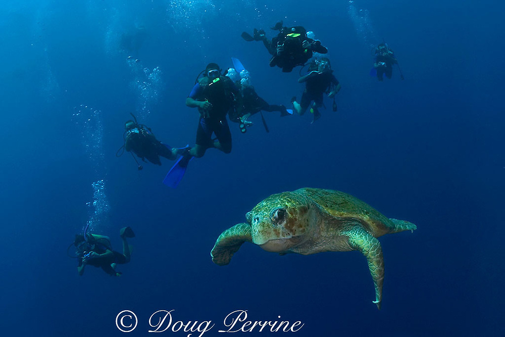 divers and loggerhead sea turtle, Caretta caretta, Gladden Spit Marine Reserve, off Placencia, Belize, Central America ( Caribbean )