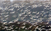 Motion blur - migrating Pink-Footed Geese over-wintering at Holkham, North Norfolk coast, East Anglia, Eastern England