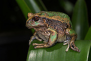 Andean Marsupial tree frog(Gastrotheca riobambae)<br /> CAPTIVE<br /> Central & north Ecuador<br /> ECUADOR. South America<br /> Threatened species due to habitat loss<br /> RANGE: Ecuador<br /> Andean & inter andean valleys north & central Ecuador. 2,200-3,500m.<br /> Endangered declining population