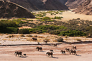 An aerial view of a breeding herd of desert adapted elephants (Loxodonta Africana) moving to vegetation for feeding,Skeleton Coast,Namibia ,Africa