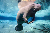 Florida manatee, Trichechus manatus latirostris, a subspecies of the West Indian manatee, endangered. Series of a mature adult male manatee with scars resting and warming himself over a large springhead. An adult male manatee floats with flippers together in perfect buoyancy over a large spring. He is rising to take a breath. Tranquil warm blue freshwater and rainbow sun rays enhance the peaceful scene  Horizontal orientation with blue water and rainbow sun rays. Three Sisters Springs, Crystal River National Wildlife Refuge, Kings Bay, Crystal River, Citrus County, Florida USA.