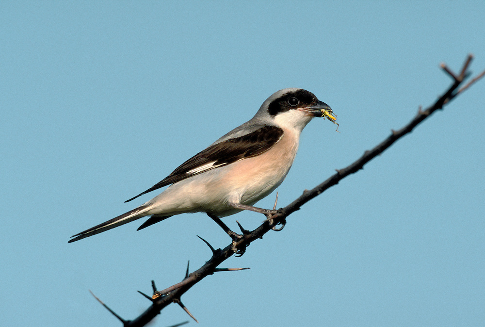 Lesser Grey Shrike Lanius minor L 19-21cm. Smaller than similar Great Grey Shrike with more white on the longer wings and black eyepatch that extends to the forehead. It winters in Africa and breeds in S and SE Europe.