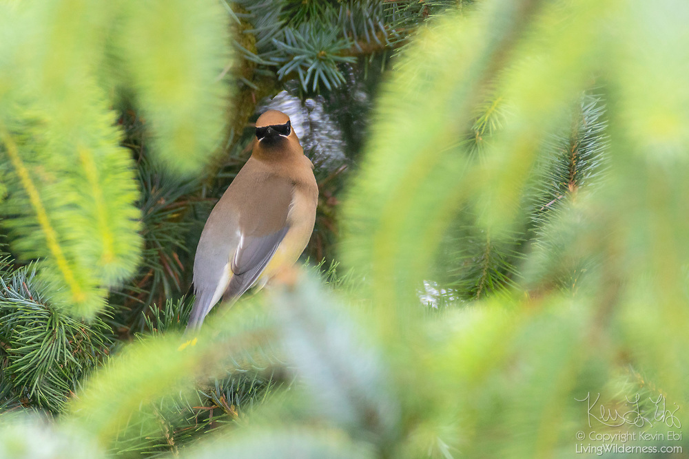 A cedar waxwing (Bombycilla cedrorum) looks out from its perch deep in a Sitka spruce tree on Spencer Island in Everett, Washington.