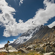 A herd of ibex in the meadows of Tapovan below Shivling on the Gangotri Glacier, Uttarakhand, India.