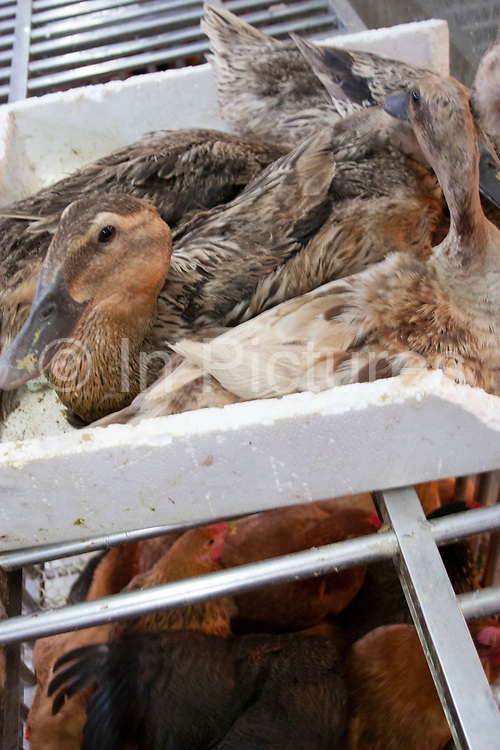 Ducks are kept on top of chickens in terrible conditions at a wet market in central Shanghai on Renmin Lu (Rd.) and Fangbang Lu. In temperatures of 40 degrees and higher, these birds were kept without water, covered in faeces, gasping for air. With Bird Flu cases increasing Worldwide, and especially in Asia, the problems of keeping these birds in close proximity is well known as flu passes between birds and species. Not so in this case by the owner of these ducks and chickens, unaware of the risks of Avian Flu.