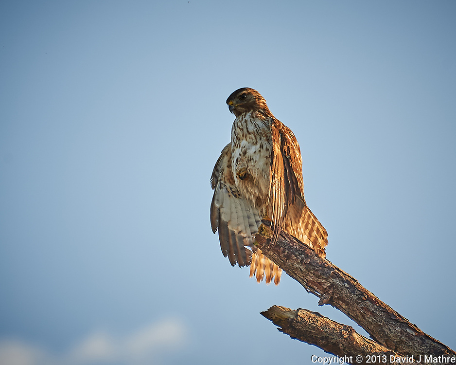 Red-shouldered Hawk perched on a dead tree. Early morning at Biolab Road in Merritt Island National Wildlife Refuge. Image taken with a Nikon D700 camera and 18-300mm VR lens (ISO 200, 300 mm, f/6.3, 1/320 sec).