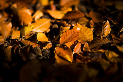 © Licensed to London News Pictures. 22/10/2020. Burnham, UK. Brown and yellow leaves lying on the ground amongst the autumnal colours at Burnham Beeches national park and National Nature Reserve in Buckinghamshire, south East England. Photo credit: Ben Cawthra/LNP