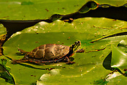 An eastern painted turtle (Chrysemys picta) basks on a lillypad eye-to-eye with an approaching emerald damselfly (Lestes sponsa) and it shadow in Mount Auburn Cemetery, Cambridge, Massachusetts.  <br /> <br /> The eastern painted turtle is the most widespread native turtle of North America. Fossils show that the painted turtle existed 15 million years ago. The adult painted turtle female is 10–25 cm (4–10 in) long while the male is smaller. Reliant on warmth from its surroundings, the painted turtle is active only during the day when it basks for hours on logs or rocks, or in this unusual case on a lillypad. During winter, these turtles hibernate, usually in the mud at the bottom of the pond. Adults in the wild can live for more than 55 years.<br /> <br /> Damselflies (suborder Zygoptera) are similar to dragonflies but have slender bodies and are weaker fliers.  Most damselfly species fold their wings over the abdomen when stationary, and the eyes are well separated on the sides of the head.  In contrast, dragonflies (suborder Anisoptera) are heavy-bodied, strong-flying insects that hold their wings horizontally both in flight and at rest.