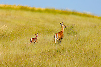 Wildlife in the farm fields in the Palouse region of rural Washington State<br /> <br /> ©2016, Sean Phillips<br /> http://www.RiverwoodPhotography.com