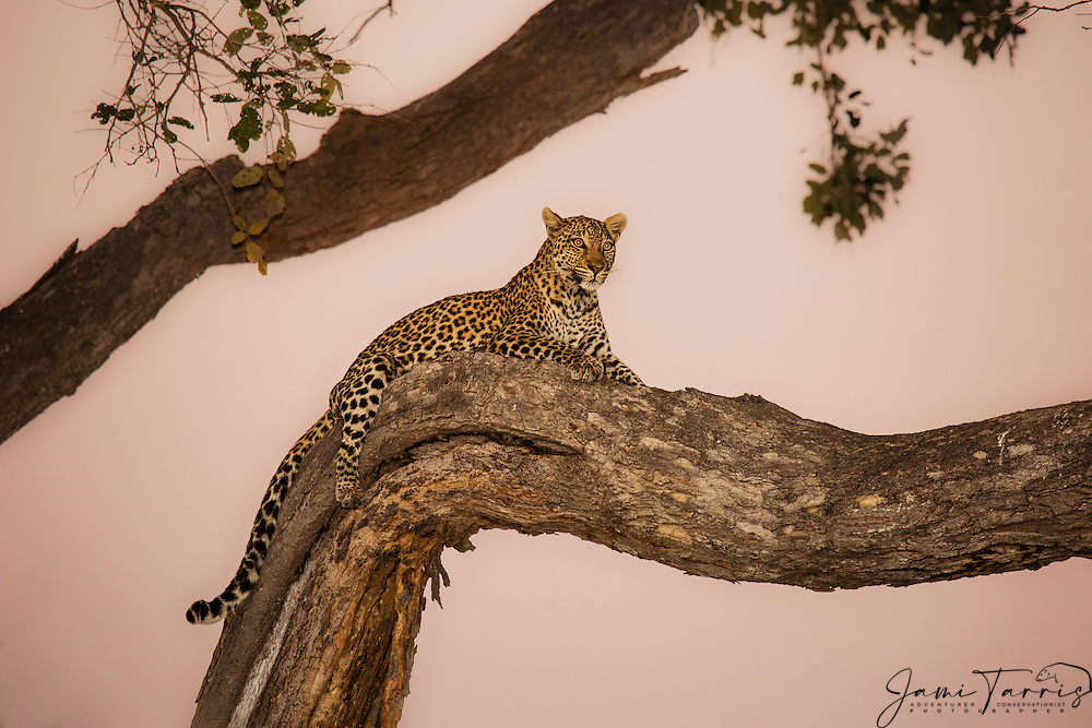 An alert and anxious leopard (Panthera pardus) laying in a tree at dusk, Chobe National Park, Botswana, Africa