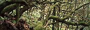 SPAIN, CANARY ISLANDS, LA GOMERA Parque Nacional de Garajonay; laurel trees