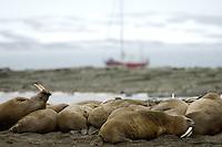 Walrus / Obdobenus rosmarus<br /> Svalbard<br /> Norway