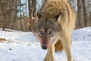 Gray wolf (Canis lupus) with bloody muzzle in winter habitat. Captive pack.