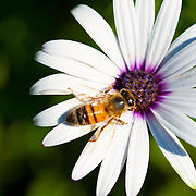 Honey bee on Osteospermum Asti photographed on tripod at a Magnification of 1/1.4. Picture taken in residential garden in Camarillo CA.