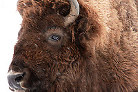 Yellowstone National park  stays open despite calls to close gates as coronavirus spreads <br /> Yellowstone National Park is capturing wandering bisons for possible slaughter as part of a population reduction programme, officials have said.<br /> From Sunday any of the mammals found migrating outside the park will be held in pens for possible slaughter ,state and federal officials carry out the reduction annually and wish to reduce the population by up to 900 animals
