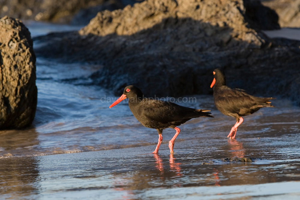 Sooty Oystercatcher(s) photographed on Clarks beach near Byron Bay, New South Wales, Australia. They are very distinctive, and almost comical in appearance and manner, with their funny walk and red eyes and bill. ..Haematopus fuliginosus.walshy@blather.net.+353872207023