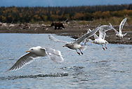 Glaucous-winged gulls take to flight along the Brooks River in Alaska. A brown bear cub walks in the background.