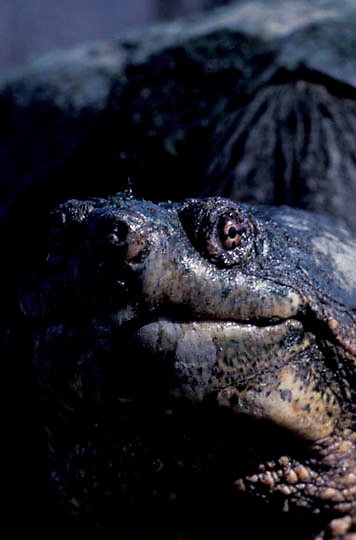 Snapping turtle, portrait of large 43 pound turtle, just coming out of hibernation. Spring.