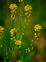 Bee on yellow wild flower.  Image taken with a Fuji X-H1 camera and 200 mm f/2 OIS lens + 1.4x teleconverter (ISO 200, 280 mm, f/5.6, 1/950 sec).