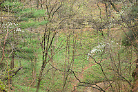 Hardwood forest showing new spring growth, Starved Rock State Park Illinois USA