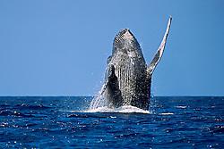 Humpback Whale, breaching, Megaptera novaeangliae, Hawaii, Pacific Ocean