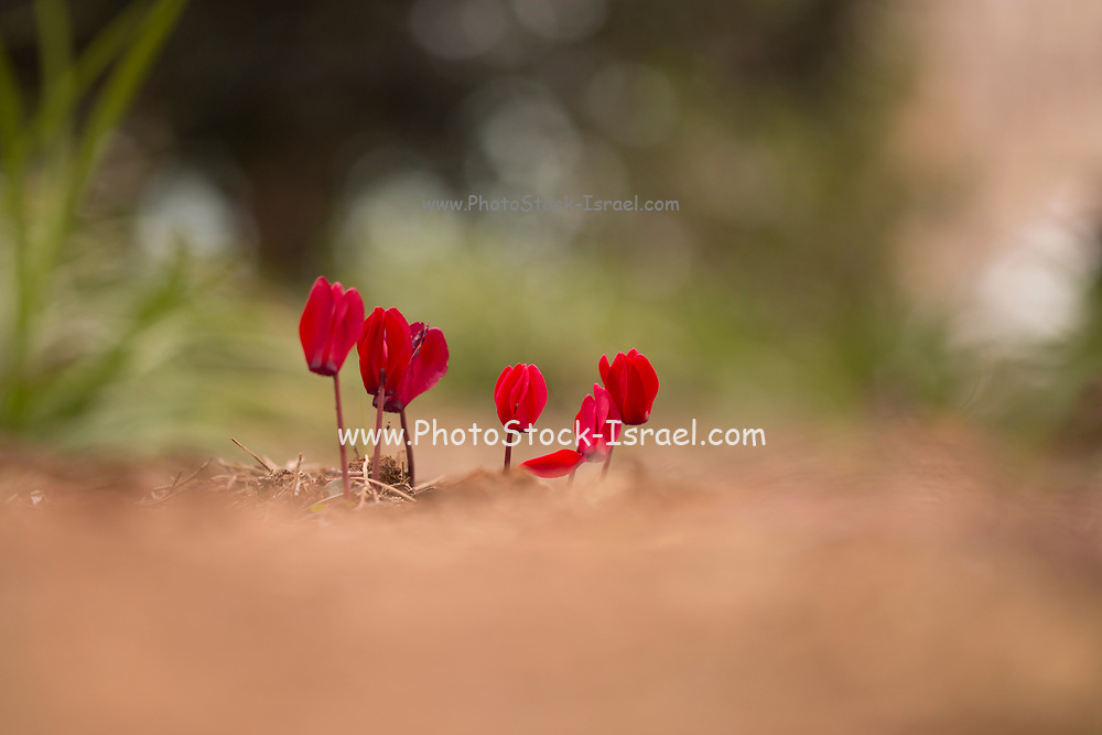 Cultivated red Cyclamen flowers in a winter garden