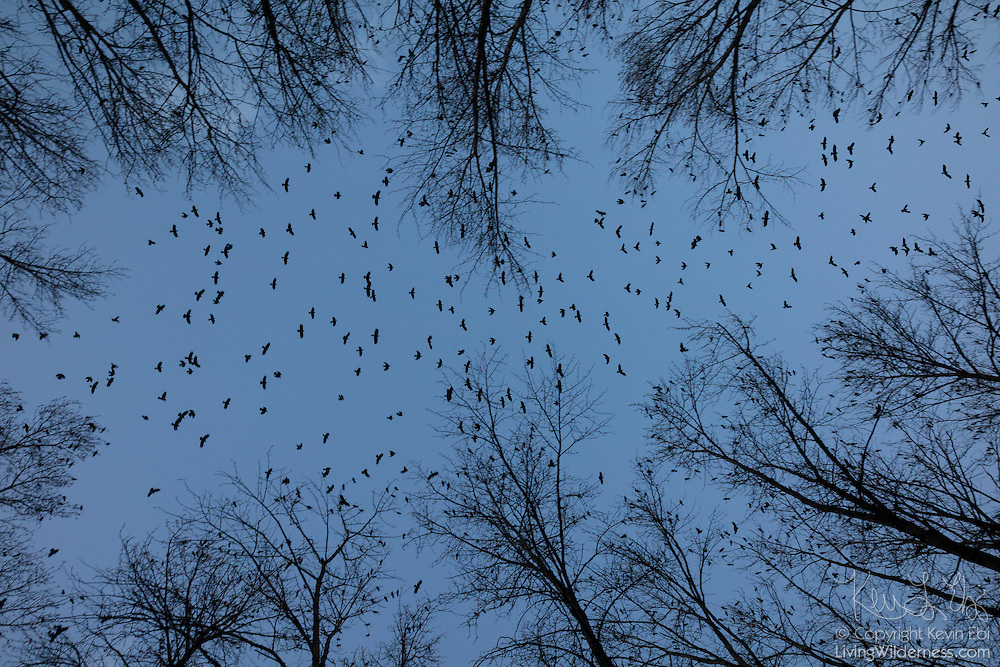 Hundreds of American crows (Corvus brachyrhynchos) in a large flock known as a murder fly over the Sammamish River in Bothell, Washington, on their way to their night roosting grounds. More than 10,000 crows roost together each night in the winter months.