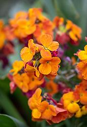 Erysimum 'Spring Breeze Sunset' - Perennial wallflower