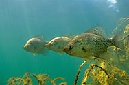 Black Crappie Trio<br /> <br /> Engbretson Underwater Photography