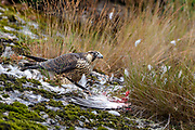 A juvenile peregrine falcon (Falco peregrinus) preys on a newly caught seagull. Photo from Hidra, south-western Norway in July.