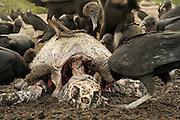 Black vultures (Coragyps atratus) are scavenging on carcass of an olive ridley sea turtle (Lepidochelys olivacea) at Playa Ostional, Costa Rica, Pacific coast, during an arribada (mass nesting) event of these marine reptiles. | Die Rabengeier (Coragyps atratus) sind gesellige Aasfresser und Raubvögel. In großen Gruppen sind sie am Strand von Ostional unterwegs, um lebende junge Meeresschildkröten zu erbeuten oder sich über ein halb verwestes, angespültes Tier herzumachen. In weniger als einer halben Stunde war dieses Exemplar komplett skelettiert.