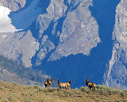 Elk herd in the Grand Tetons