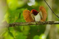 King Bird of Paradise (Cicinnurus regius) male performing open wings display.