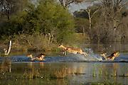 Impala (Aepyceros melampus) running through water<br /> Moremi Game Reserve, Okavango Delta<br /> BOTSWANA<br /> HABITAT & RANGE: Savannas and thick bushveld in Kenya, Tanzania, Swaziland, Mozambique, northern Namibia, Botswana, Zambia, Zimbabwe, southern Angola, northeastern South Africa and Uganda