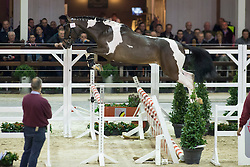 069, I'm Joking M<br /> BWP Hengsten keuring Koningshooikt 2015<br /> © Hippo Foto - Dirk Caremans<br /> 21/01/16