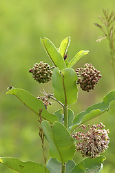 Milkweed (Asclepias) grows and blooms on the natural prairie and attracts Asparagus Beetles (Crioceris)