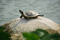 June 20, 2017 - Shijiazhuang, Shijiazhuang, China - Shijiazhuang, CHINA-June 20 2017: (EDITORIAL USE ONLY. CHINA OUT) A turtle enjoys sunshine on a rock at a park in Shijiazhuang north China's Hebei Province, June 20th, 2017. (Credit Image: © SIPA Asia via ZUMA Wire)