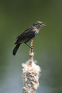 Female Red-Winged Blackbird perched atop a cattail at a pond at a nature center in upstate, NY.