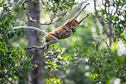 A female proboscis monkey is pictured with her baby at Labuk bay, on August 5, 2019 near Sandakan city, State of Sabah, North of Borneo Island, Malaysia. Palm oil plantations are cutting down primary and secondary forests vital as habitat for wildlife including the critically endemic proboscis monkeys. Photo by Emy/ABACAPRESS.COM