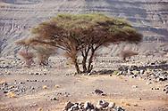 Sahara acacia trees (Acacia raddiana) in the Sahara desert.
