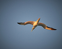 Northern Gannet in the Morning. Image taken with a Nikon D800 camera and 70-300 mm VR lens (ISO 800, 300 mm, f/5.6, 1/1250 sec).