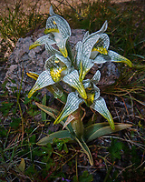 Patagonia wild green orchid while on a hike near Estancia Helsingfors. Image taken with a Leica V-Lux 20 camera.